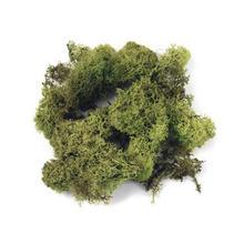 Hellgrünes Islandmoos
